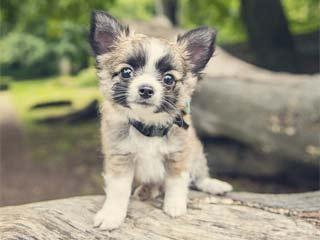 Грыжа встречается как у щенков, так и взрослых собак породы чихуахуа