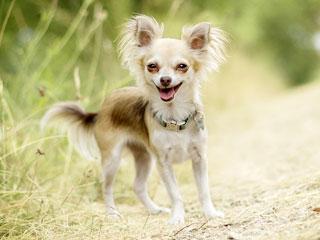 У щенков чихуахуа уши встают, как правило, в 2-3 месяца