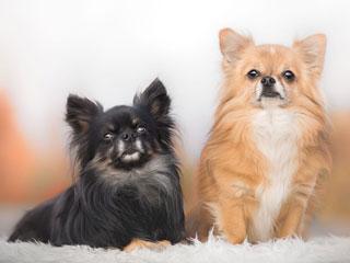 У каждой породы собак есть достоинства и недостатки, чихуахуа не исключение
